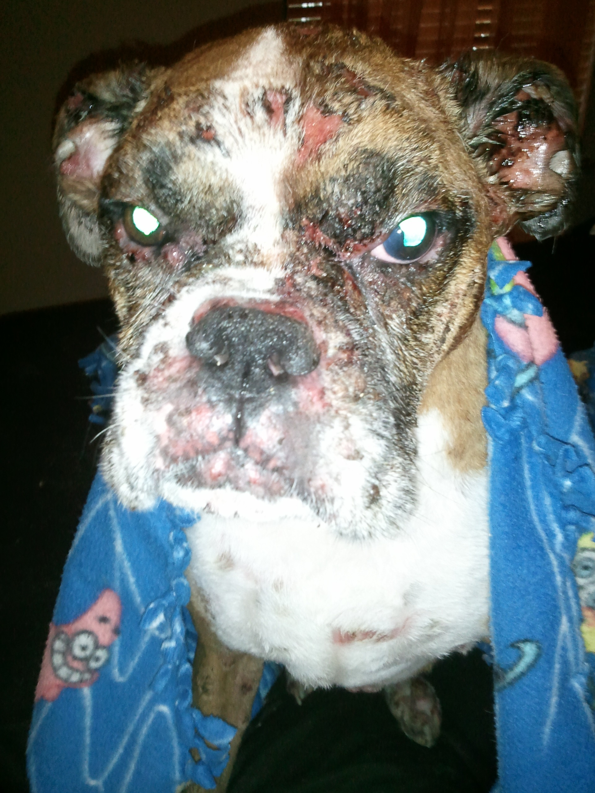 Canine Pemphigus Foliaceus The Chronicles Of Otis And